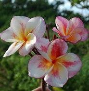 Images of Plumeria varieties - Helicoia Paradise