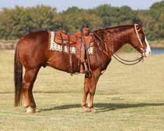 American Quarter Horse, Horse Tack, Horses, Animals, Life, Animales, Animaux, Horse, Animal