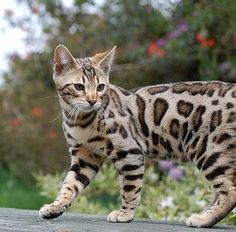 I must have a Bengal Cat!