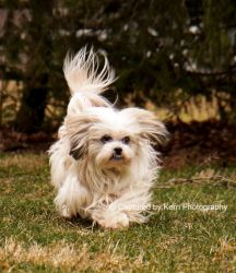 Addie is an adoptable Lhasa Apso Dog in Wooster, OH. Meet Addie. She is a pure bred Lhasa Apso about 7 years old, 17 pounds and is just about the most perfect dog ever