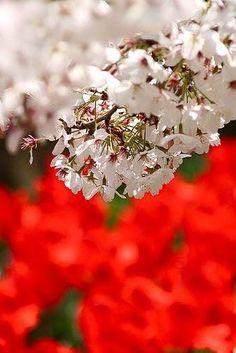 Cool Japan sakura