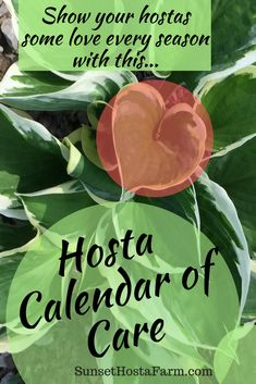 these seasonal care steps to keep your hostas looking beautiful and healthy. Tips on hosta care when planted in the ground or in pots. Bring out their best leaf color. Hosta Love fresh from the farm. The Farm, Hosta Plants, Shade Plants, Houseplants, Flowering Plants, Gardening For Beginners, Gardening Tips, Gardening Courses, Outdoor Plants