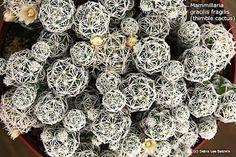 Mammillaria gracilis fragilis (cacto de dedal) baixa resolução