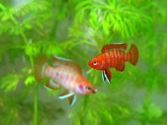 Small fish for small tanks (10 gallons or less).