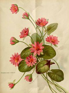 Nymphaea hallensis. Illustration by Johanna Beckmann. Plate from Die Gartenwelt. Published 1897