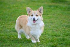 Pet Photos, Corgi, Thing 1, Pets, Animals, Animals And Pets, Animales, Animaux, Corgis