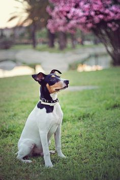 Handsome Rat Terrier