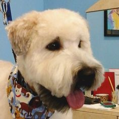 My buddy Charlie #tucsondoggrooming #doggrooming #wagsmytail #softcoatedwheatenterrier A well groomed dog is a well loved dog! Call us today to schedule your dog grooming appointment 520-744-7040