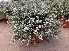 phylica ericoides_centrovivai_garden_center2 Garden, Plants, Planters, Garten, Lawn And Garden, Gardens, Plant, Gardening, Outdoor