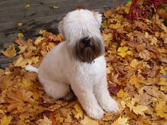 DeviantArt: More Artists Like Soft coated wheaten terrier by I Love Dogs, Cute Dogs, Wheaten Terrier Puppy, Crazy Dog Lady, Dogs And Puppies, Doggies, Beautiful Dogs, Mans Best Friend, Dog Life