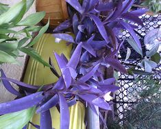 Garden Care Simplified: Purple Colored Leaf Plant Tradescantia Fluminensis/Purple Heart