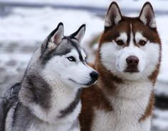 Siberian Husky .do you like how they look ?i love how there eyes are light blue !i have never seen any brown ones before!!!