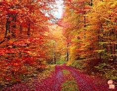 Colorful Autumn Forest Road wall mural from Murals Your Way will add a distinctive touch to any room. Choose a pre-set size, or customize to your wall. Forest Pictures, Autumn Pictures, Fall Photos, Nature Photos, Murals Your Way, Saint Esprit, Forest Road, Forest Path, Autumn Scenes