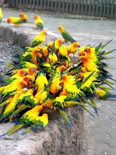 Parrot Party:  All nestled there together, they look like a beautiful yellow tropical flower with green leaves.