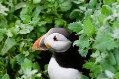 https://flic.kr/p/uA4Wxg | Puffin (Fratercula artica) | Emerging from nest burrow on Staple island Inner Farne