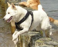 Canaan Dog looks just like Zy