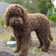 Australian cobberdog