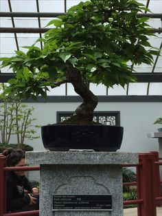 Penjing - Kurile cherry tree - 20 years old - Montreal Botanical Gardens Montreal Botanical Garden, Botanical Gardens, Old Montreal, Cherry Tree, Growing Tree, 20 Years Old, Live Long, Bonsai, Environment