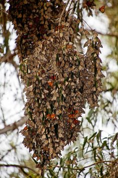 Monarch Cluster - Photo credit: Eugene Powers