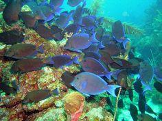 Blue tangs gezien bij snorkelen Bonaire