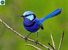 https://www.facebook.com/WonderBirds-171150349611448/ Thanh tước lộng lẫy; Họ Thanh Tước-Maluridae; Úc || Splendid fairywren/Blue wren (Malurus splendens); IUCN Red List of Threatened Species 3.1 : Least Concern (LC)(Loài ít quan tâm)