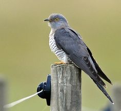 Many of these species, including the Nightingale, Cuckoo and Turtle Dove, used to be familiar songbirds. Description from birdguides.com. I searched for this on bing.com/images