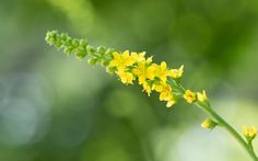 Some of the health benefits of agrimony include its ability to reduce inflammation, improve digestive functions, and improve bladder control. Chestnut Bud, Sweet Chestnut, Star Of Bethlehem, Naturopathy, Reduce Inflammation, Clematis, Herbal Remedies, Health Benefits