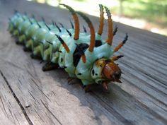 Hickory Horned Devil caterpillar  #hickory #horned #devil #horneddevil #caterpillar