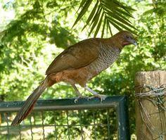 Aracuã-escamoso (Ortalis squamata)