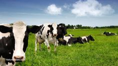 Why grass-fed meat is better for your health and the environment  #KnowledgeIsPower!#AwesomeTeam♥#Odycy☮ http://www.naturalnews.com/046753_grass-fed_meat_environment_food_production.html?a_aid=carlwattsartist