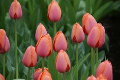 Tulipa Apricot Impression - Dutch Garden World