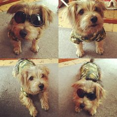 #dog #fashion #dogfashion #norfolkterrier #dogfeatures #pawstruck #hond #cachorro #dogfessional #fluffy #fluffypack #chien #ilovedogs #excellent_dogs #life #cutedog #terriers #puppylover #instapet #doggy #dogsofinstagram #bestwoof #dogoftheday #pets_of_instagram #instapuppy #petbox #instaterrier
