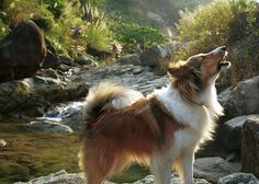Largest Community of Sheltie Lovers on the Net!