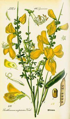 Genêt à balais (Genista scoparia)| Remèdes de Grand-Mère