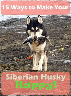 It takes a combination of many things, including good ownership, to keep a Siberian Husky happy. Find 15 ways to keep your husky happy right here. Read more & The post 15 Ways To Make Your Siberian Husky Happy appeared first on Calvert Kennels. Husky Humor, Husky Quotes, Funny Husky Meme, Wolf Husky, Husky Puppy, Pomeranian Husky, Pomsky, Siberian Husky Facts, Siberian Huskies