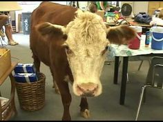 The story of Milkshake, the rescued cow