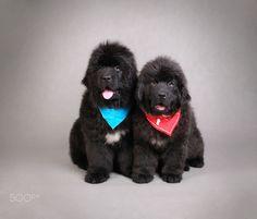 Waldek Dąbrowski | Genral and Garibaldi - two newfoundland puppies