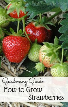 Growing Vegetables Even if you don't have a huge garden you can grow strawberries. Here's how to grow sweet strawberries in your garden. - Want to grow strawberries? Here's some great tips on how to grow sweet strawberries in your home garden. Fruit Garden, Garden Care, Easy Garden, Vegetable Garden, Hydroponic Gardening, Hydroponics, Organic Gardening, Container Gardening, Strawberry Garden