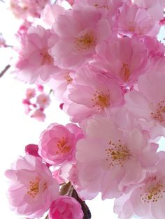Cherry Blossom Wallpaper, Cherry Blossom Tree, Blossom Trees, Flower Wallpaper, Amazing Flowers, Pretty In Pink, Beautiful Flowers, Everything Pink, Flowers Nature