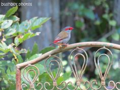 eastern yellow robin - Google Search