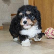 Bernedoodle Puppies for Sale Havanese Puppies For Sale, Bernedoodle Puppy, Dogs Online, Us Vets, Pets For Sale, Happy Puppy, Animals, Animales, Animaux