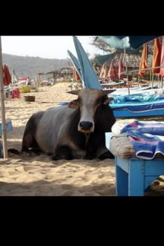 Come across one of these big guys on the beach in Goa India