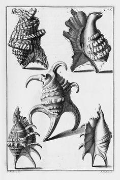 Nicolai Gualtieri, Index testarum conchyliorum quae adservantur in museo Nicolai Gualtieri ... et methodice distributae exhibentur, 1742. Conchyliensammlung