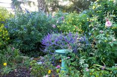 purple mexican sage, yellow thryallis, yellow allamanda, blue to purple plumbago, blue birdbath, single bloom of belinda's dream rose bush
