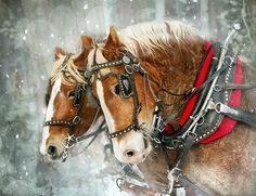 Belgian snowflakes Christmas Horse Learn about #HorseHealth #HorseColic  www.loveyour.horse