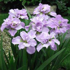 Iris Sibirica Kita-No-Seiza | J Parker Dutch Bulbs