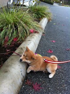 Shiba Inu Puppy// I'm tired of walking. I'll lay here for a minute and then you can carry me home, human servant!