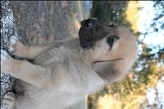 Litter of 9 Anatolian Shepherd puppies for sale in SEARCY, AR. ADN-49534 on PuppyFinder.com Gender: Male. Age: 6 Weeks Old