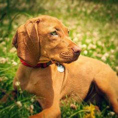 Quick! 10 minutes to midnight of #nationalpuppyday I think this is still legal! Back when I captured mom and dad's I had green eyes and a tiny bladder. #puppiesofinstagram #vizslalove