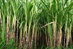 The Secret to Youthful skin is found in sugarcane.  As we age our skin starts to look dull, firmness disappears, the youthful glow is diminishing. Why does this happen and how can we look fabulous in our 30's, 40's and 50's?  No need for ex